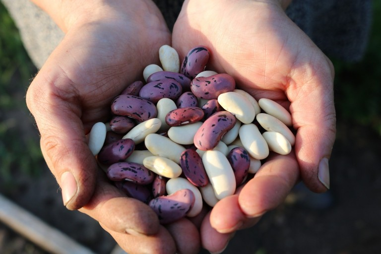 runner-beans-1835646_1920